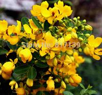 New Home Garden Plant 100 Seeds Cassia bicapsularis Christmas Senna Shurb Tree Seeds Free Shipping
