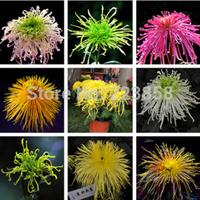 (50 pieces/lot),chrysanthemum seeds,Flos Chrysanthemi,Balcony potted,seasons planting