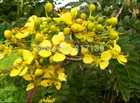 New Home Garden Plant 100 Seeds Kassod Tree Cassia Senna Siamea Tree Seeds Free Shipping