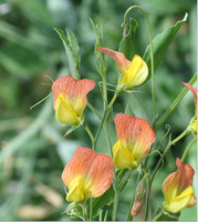 DIY Home Garden Plant 10 Seeds Sweet Pea Annual Species Mixed Flower Seeds Free Shipping