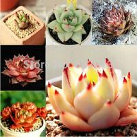 DIY Home Garden Succulent Plant 10 Seeds Rare ECHEVERIA Agavoides Ebony Mixed Seeds Free Shipping