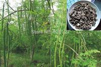 30+ MORINGA SEEDS OLEIFERA DRUMSTICK TREE Miracle Ben Oil Seeds.30+pcs/lot