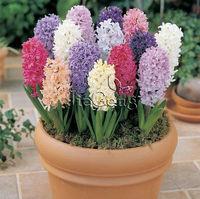 Hyacinth Bulb *  ( Bulb size 16/17 cm )  * Hyacinthus orientalis * Free shipping * Hydroponics hyacinth bulb * Hardy Bulb