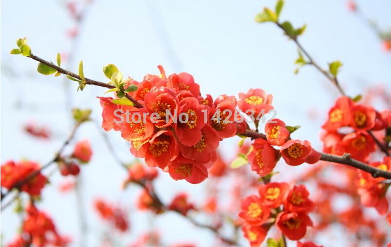 flores jardim perenes : flores jardim perenes:de flores perenes 60 unidades/pacote cereja sementes de plantas
