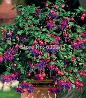 DIY Home Garden Plant 20 Seeds Fuchsia Magellanica Hardy Bush Fuchsia Flower Seeds Free Shipping