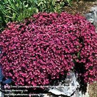 10pcs Red Rock Cress Cascading Aubrieta Hybrida Superbissima Cascade Red) Home Garden Decor Ground Cover Plant  Free Shipping
