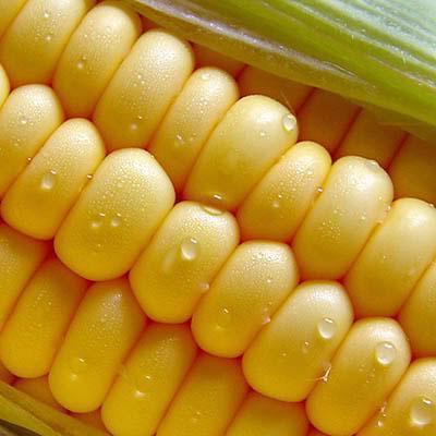 best quality 100/bag Corn seeds, popcorn, popcorn special corn fruit and vegetable seeds Sementes seeds for home plant(China (Mainland))
