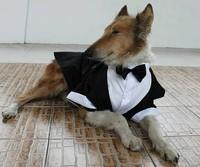 Hot models! Large dog TUXEDO formal clothes big dog wedding/party suit bridegroom wear white black  free shipping