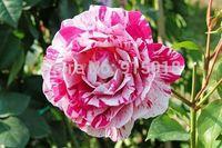 Flower seeds 200Pcs seeds Pink Dragon Rose Seeds frischen exotischen seltene Blume Home & Garden