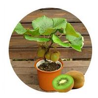 Thailand Mini Kiwi Fruit 1Pcs/Lot(100 Seeds) Bonsai Plants, Delicious Kiwi Small Fruit Trees Seed