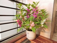 Flower seeds 200 Pcs Mixed color impatiens seed henna balcony potted indoor garden Free shipping