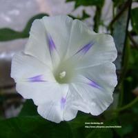 5 pcs Milky Gardening Morning Glory Seeds Bonsai Climbing Plants Trumpet Flower Seed Free shipping