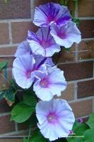 5pcs Rare Large Morning Glory Seeds( Marina Snow ) Flower Size:10cm-16cm Bonsai Climbing Plants Trumpet Flower Free shipping