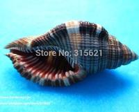 10 pcs About 5cm Long Fahao Conch Natural Seashell Aquarium Ornament Fish Tank Landscape Sea Snail Home Decoration Free Shipping