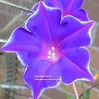 5pcs Platycodon Grandiflorus Green Lion*Elegant Morning Glory Flower Seeds Bonsai Climbing Plants Trumpet Flower Free shipping