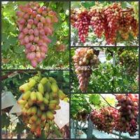 Free Shipping 50pcs 5Kinds Finger Grape fruit Tree Seeds
