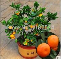 Free Shipping 50pcs Sugar Orange Fruit Tree Seeds