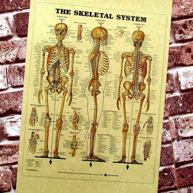 слово человеческий скелет