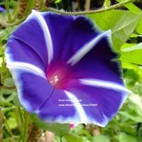 5pcs Dazzling Dance Noble Purple Gardening Morning Glory Flower Seeds Climbing Plants Bonsai Trumpet Flower Seed Free shipping