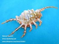 2pcs Natural Sea Shell Black Scorpion Conch Home Decor Fish Tank Aquarium Ornaments Gift SIZE :10-12cm Free Shipping