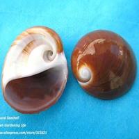 10pcs 3-4cm Natural Conch Red Cat Eye Sea Shell Home Decor Fish Tank Aquarium Ornaments Free Shipping