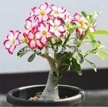 2014 absorção de formaldeído coloridos Bonsai Desert Rose sementes adenium obesum semente 20 sementes / saco(China (Mainland))