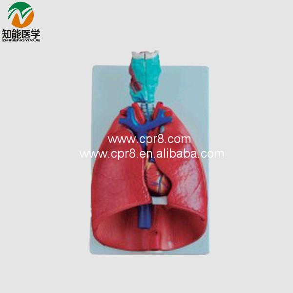 Throat heart lung model BIX-A1057(China (Mainland))