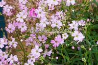 DIY Home Garden Plant 20 Seeds Gypsophila Repens Rose Flower Seeds Free Shipping