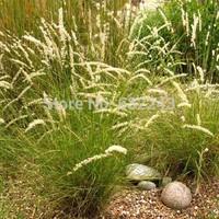 DIY Home Garden Plant 10 Seeds Melic Melica Ciliata Herb Seeds Free Shipping
