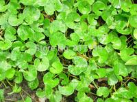 New Home Garden Plant 300 Seeds Gotu kola Centella Asiatica Indian Pennywort Seeds Free Shipping