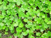 DIY Home Garden Plant 300 Seeds Gotu kola Centella Asiatica Indian Pennywort Seeds Free Shipping