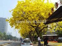 DIY Home Garden Plant 60 Seeds Golden Goddess Tree Tabebuia Chrysantha Seeds Free Shipping
