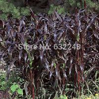 DIY Home Garden Plant 20 Seeds Pennisetum Glaucum Purple Majesty Millet Grass Seeds Free Shipping