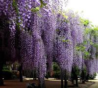 20pcs/pack Purple Wisteria Flower Seeds For The Garden DIY Home Garden bonsai KI0030