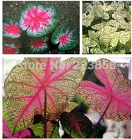 50 pcs/bag,Caladium seeds,Caladium bicolor ,flower Seeds ,variety complete,the budding rate 95%(Mixed colors)