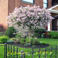 100 lilac Syringa oblata Early Lilac Shrub Tree Seeds Bonsai Seeds Exotic Plants Seeds  Free shipping