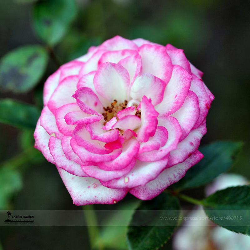 купить Карликовое дерево Flower Goddess Chinensis ,  50 /, #LG00018 недорого