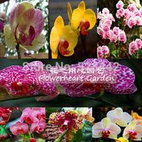 Bonsai flowers orchid seeds chromophous fluttering . -100 pcs