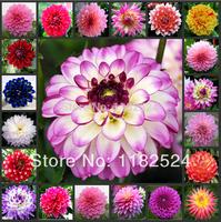 2014 New Special Offer Novel Plant Outdoor Plants Balcony Mini Chili Fruit Seeds free Shipping 100pcs Dahlia Seeds Bonsai Plant