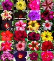 """2014 Special Offer Seeds Vegetables Sementes free Shipping 20+ Fresh Rare """"blue Sky"""" Adenium Obesum Seeds - Bonsai Desert Plant"""