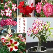 100 pcs arco-íris sementes de Adenium obesum desert rose sementes de Bonsai planta sementes para e jardim(China (Mainland))