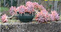 """Free Shipping 30+ Fresh Rare Graptosedum """"Francesco Baldi' Seeds Succulent Plant Seeds"""