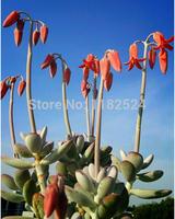 Free Shipping 30+ Fresh Rare Cotyledon orbiculata cv. Seeds Succulent Plant Seeds