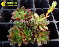 Free Shipping 30+ Fresh Rare Echeveria Purpusorum cv. Seeds Succulent Plant Seeds