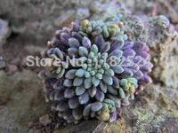 Free Shipping 30+ Fresh Rare Monanthes brachycaulon Seeds Succulent Plant Seeds