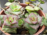 Free Shipping 30+ Fresh Rare Crassula rupestris ssp. marnierana Seeds Succulent Plant Seeds