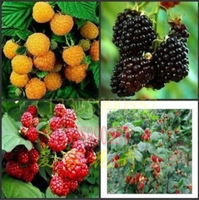 100 pcs/bag, Balcony patio potted fruit trees planted seeds, raspberry seeds
