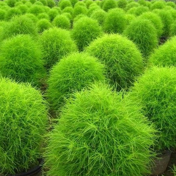 sementes de cipreste de v