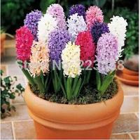 100 pcs / bag, hyacinth seeds, DIY planting flowers, planting seasons, flowering plants