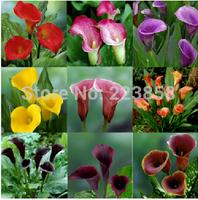50 pcs / bag,Calla seeds,DIY planting flowers, planting seasons, flowering plants